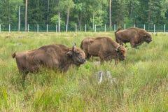 Den européBison Bison bonasusen som står på gräs, täckte ängen arkivbilder