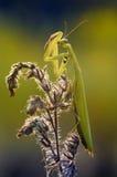 Den europeiska bönsyrsan, bönsyrsareligiosa, ` för Mantidae`-mantids, Royaltyfria Bilder