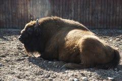 Den europeiska BISONEN är i aviariet av zoo arkivbild