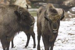 Den europeiska bisonen Arkivfoton