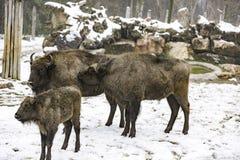 Den europeiska bisonen Arkivbilder