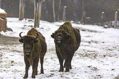 Den europeiska bisonen Royaltyfria Foton