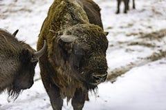 Den europeiska bisonen Royaltyfri Foto