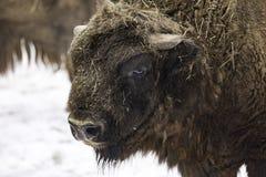 Den europeiska bisonen Royaltyfri Fotografi