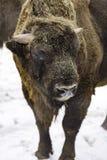 Den europeiska bisonen Royaltyfria Bilder