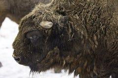Den europeiska bisonen Arkivbild