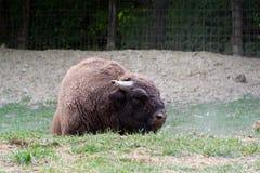 Den europeiska bisonen Fotografering för Bildbyråer