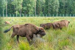 Den europeiska bisonwisenten, Zubr betar in i sommar royaltyfri bild