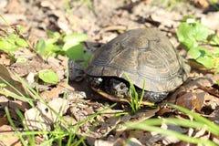 Den europeiska dammsköldpaddan eller Emys orbicularis arkivfoton