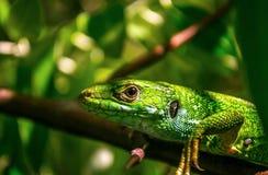 Den europeiska gröna ödlan Arkivfoto