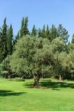 Den europeiska olivet, eller kulturella Oliva eller europeisk oliv eller olivträdet är ett vintergrönt träd; art av olivträdOleao Fotografering för Bildbyråer