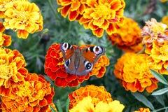 Den europeiska påfågelfjärilen sitter på den Tagetes blomman, bästa sikt royaltyfria bilder