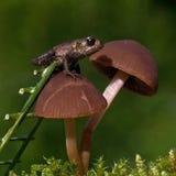 Den europeiska paddan, mm för Bufo bufo 15 behandla som ett barn på svamp Royaltyfria Bilder