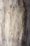 Den europeiska prydliga skällskalbaggen Spår av en plåga på ett trädskäll royaltyfri foto
