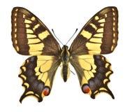 Den europeiska Swallowtailen Arkivbilder