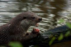 Den europeiska uttern äter fisken Royaltyfri Fotografi