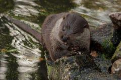 Den europeiska uttern äter fisken Royaltyfri Foto