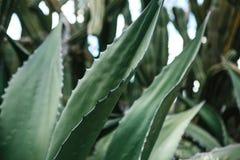 Den exotiska eller tropiska växten i trädgård eller parkerar Blommor och arbeta i trädgården eller naturliga koloni och buskar or Royaltyfri Foto