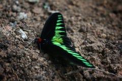 Den exotiska malaysiska gräsplanen, den röda och svarta fjärilen & x22en; Raja Brooke& x27; s Birdwing& x22; eller & x22; Trogono royaltyfri bild