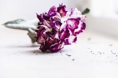 Den exotiska, tropiska och färgrika blomman i en grön foliageWithered blomma, steg med purpurfärgade kronblad royaltyfri fotografi