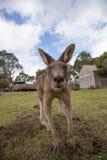 Den extrema closeupen av kängurun i ett roligt poserar Arkivfoto