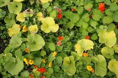 Den färgglade indiankrassen blommar från över Royaltyfri Bild