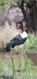 Den färgglade sadeln fakturerade storken som ansar sig i ett damm Arkivfoto