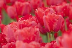 Den färgglade tulpan blommar i Polen Royaltyfri Fotografi