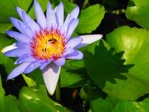 Den färgrika blommande purpurfärgade (violetta) näckrons (lotusblomma) med biet är Arkivbild