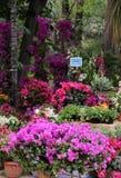 Den färgrika bouganvillaen blommar i en utläggning Arkivbilder