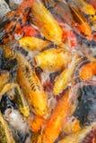 Den färgrika fisken eller KARPEN eller den utsmyckade karpen, också som är bekanta, som utsmyckat, kverulerar, svärtar karpen arkivbilder