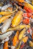 Den färgrika fisken eller KARPEN eller den utsmyckade karpen, också som är bekanta, som utsmyckat, kverulerar, svärtar karpen royaltyfri bild