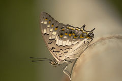 Den färgrika fjärilscloseupen Royaltyfri Bild
