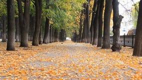 Den färgrika guld- gränden i hösten parkerar, sidor är fallng Gångare som går på den oskarpa bakgrunden arkivfilmer