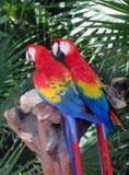 den färgrika macawen mekaniskt säga efter två Arkivfoto
