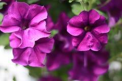 Den färgrika petunian blommar tätt upp royaltyfri foto