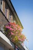 Den färgrika rosa färgen blommar i blomkruka på balkongen Blå himmel med kopieringsutrymme arkivbild