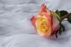 Den färgrika rosen med vatten tappar - vit bakgrund Arkivfoto