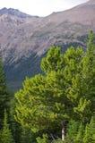 Den färgrika sikten av sörjer och asp- skogar, alberta, Kanada Royaltyfria Bilder