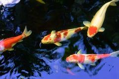 Den färgrika utsmyckade karpfisken eller koifisken simmar arkivfoto