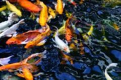 Den färgrika utsmyckade karpfisken eller koifisken simmar Koi fisksimning i damm arkivfoto