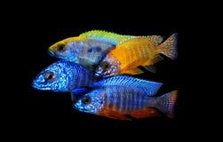 den fångna aulonocaraen lätt fiskar även den glamorösa häftklammeren för sp för hobbylwandaen inte som Arkivfoto