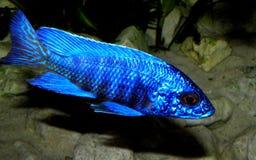 den fångna aulonocaraen lätt fiskar även den glamorösa häftklammeren för sp för hobbylwandaen inte som Royaltyfri Foto