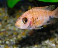 den fångna aulonocaraen lätt fiskar även den glamorösa häftklammeren för sp för hobbylwandaen inte som Royaltyfria Bilder