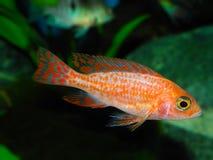 den fångna aulonocaraen lätt fiskar även den glamorösa häftklammeren för sp för hobbylwandaen inte som Arkivbild