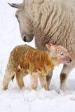 den födda lamben snow nytt Royaltyfri Fotografi