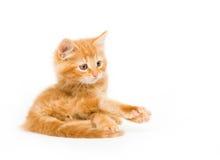den fördjupade kattungen tafsar yellow Royaltyfria Bilder
