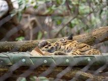 Den fördunklade leopardNeofelis nebulosaen sover inom av en bilaga på en zooutställning royaltyfri bild
