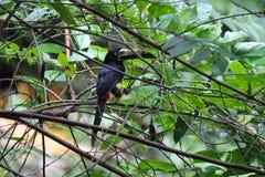 Den försåg med krage Aracari - Pteroglossus torquatusen - tukan Royaltyfria Foton