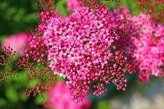 Den försiktiga rosa färgen blommar spirea Arkivbild
